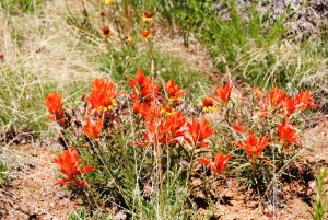 5 Indian paintbrush