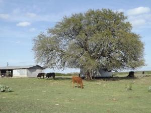 cattle n ranch