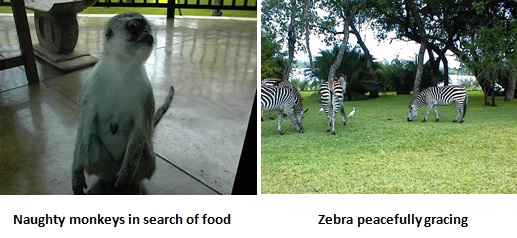 Monkeys and Zebra - Zambia
